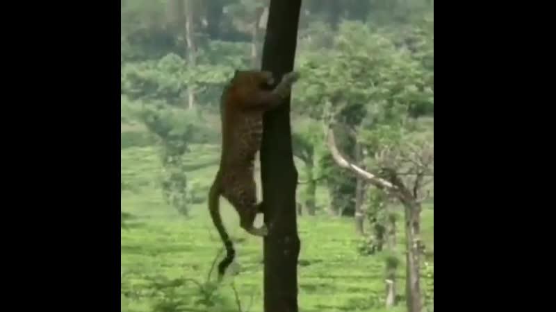 Ягуар очень хороший альпинист