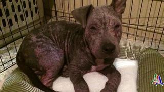 Этого пса бросили привязанным в ужасном состоянии. Он был весь в кровавых струпьях