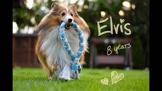 sheltie Elvis 8 years old!   Happy Birthday my friend!
