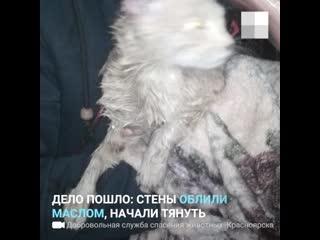 Рыжий домашний кот провалился в щель между шахтой лифта и стеной