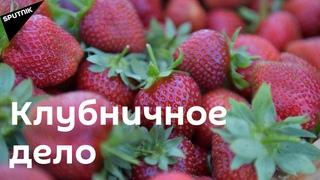 Клубничное дело: как собирают сочную ягоду в Дранде