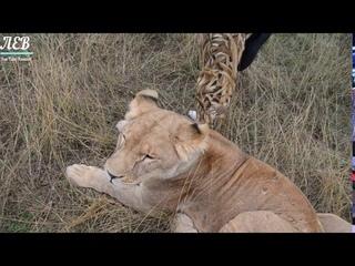 Клип о львице Лейлы!