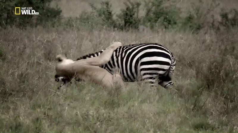 Nat Geo Wild: Бойцовский клуб для животных. Быстрый и мертвый (1080р)