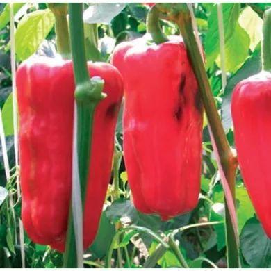 Красный перец спасает огород