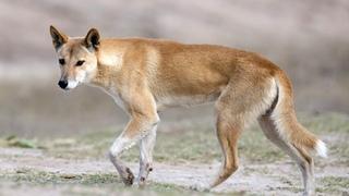 Динго – главный хищник Австралии! Интересные факты о диких собаках динго.