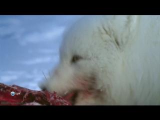 BBC Удивительный мир животных (01). Лисы (Познавательный, природа, 2014)