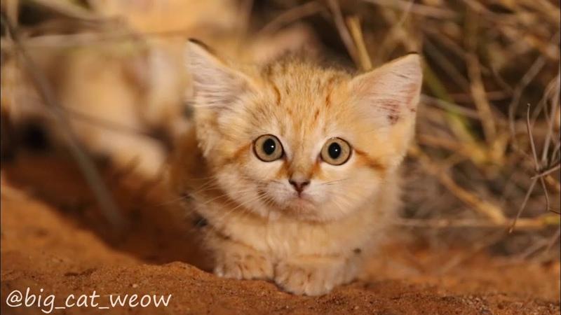 Первое в истории видео котят барханной кошки
