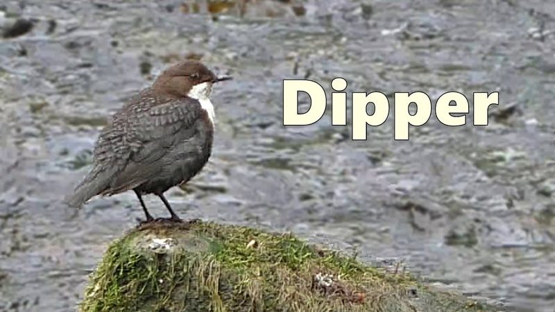 Dipper Bird Dippers Chirping at The River