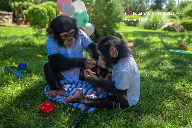 В зоопарке отеля Yalta Intourist отпраздновали день рождения шимпанзенка Оскара!, изображение №7