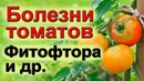 Выращивание помидор. Фитофтора и др