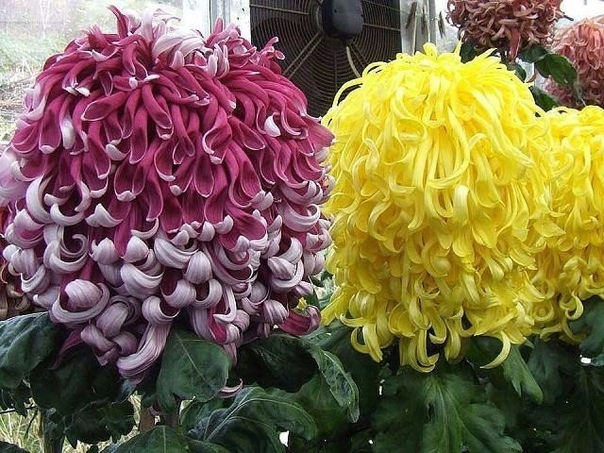 Я очень люблю хризантемы, но такое чудо вижу впервые.....красота!!! (источник: gofazenda)