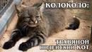 ПАМПАССКАЯ КОШКА Американский манул или травяной кот Интересные факты про кошек Породы кошек