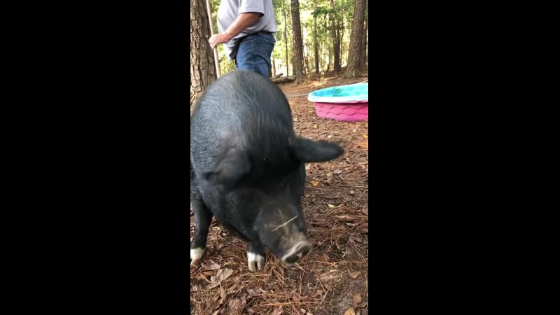 Скарлетт О'Хара Scarlett O'hara Belle Pig Джорджия США