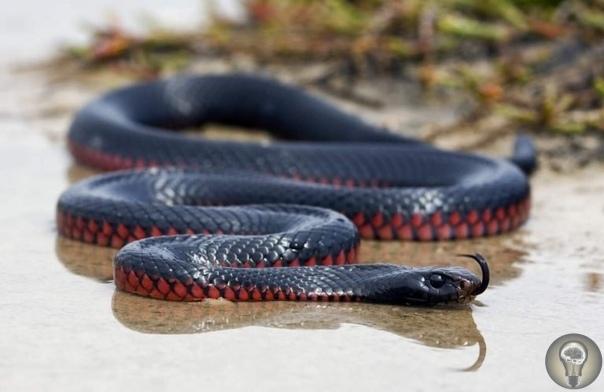 Черная змея  эндемик Австралии
