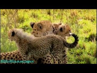 BBC Рассказы о животных 11 серия Документальный 2008
