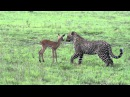 Incredible footage of leopard behaviour during impala kill - natural-variation