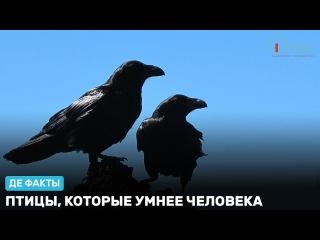 Птицы, которые умнее человека. «Де факты от де Юры»