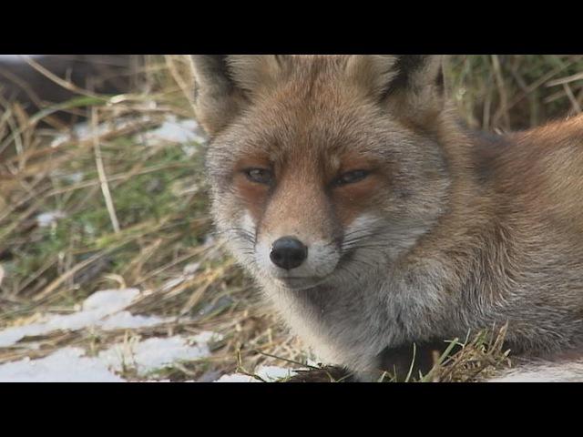 Korte natuurfilm winterbeelden met o a vos ree waterral ijsvogel 2015