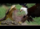Top 10 Best Eagle Attack Eagle vs Snake, Goat, Man, Wolf النسر يقاتل الدب والذئب والافعى 16