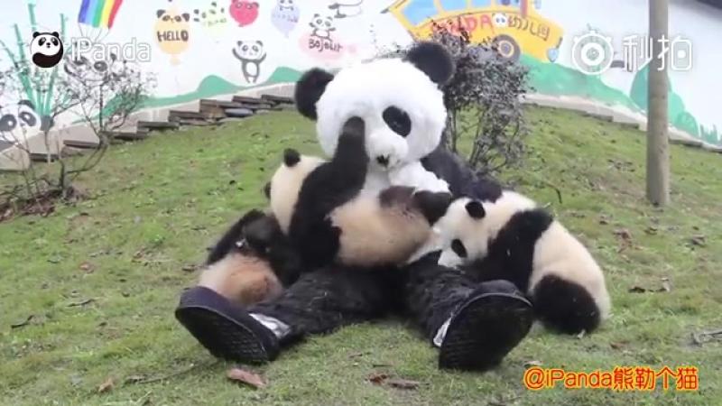 Пандята в зоопарке