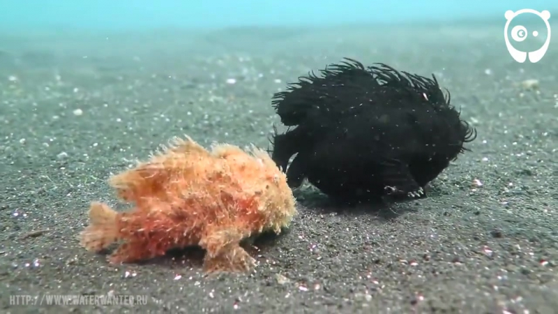 Just a couple of frogfishes walking along the ocean floor