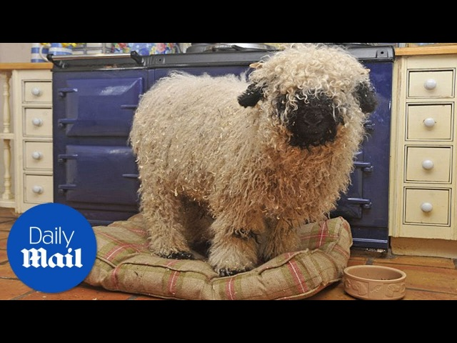 Sheep thinks he is a dog after growing up with one Daily Mail
