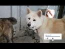 كلب الاكيتا اليباني الاصلي مع جمال العموا15