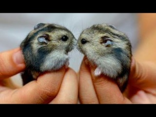 Adorable Hamsters Being Sweet and Friendly - Cute Pet Hamsters Videos Vines Compilation 2017