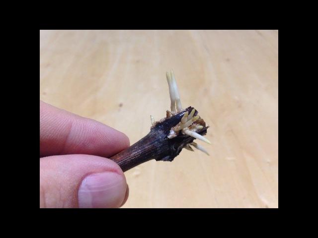 Как укоренить черенок винограда Выращивание саженцев из черенков винограда