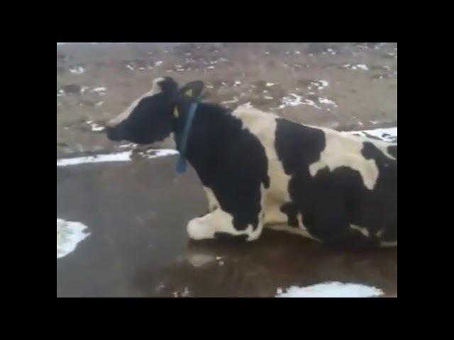 корова на льду фото дымники флюгеры