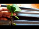 Saving rootless orchids in FULL water culture!