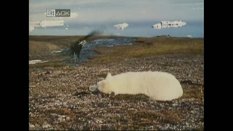 Белый медведь док фильм by dasha st
