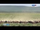 В Хакасию съехались овцеводы со всей страны 17 07 2019