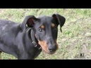 Doberman dog Ares fight and play in pool agency Brima.d