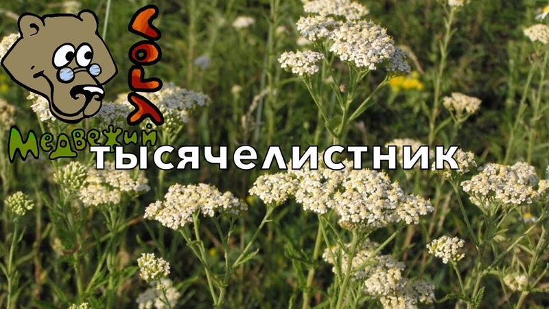 ТЫСЯЧЕЛИСТНИК (Школа Травоведения) медвежийугол