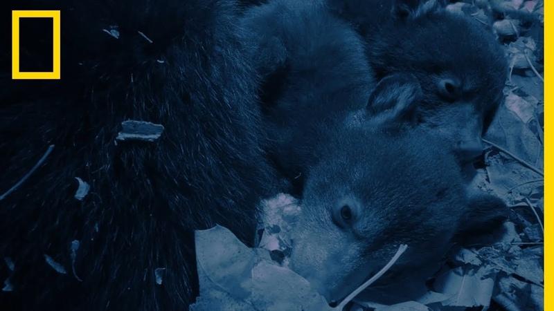 La douce hibernation d'une ourse et ses oursons