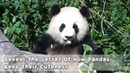Reveal The Secret Of How Pandas Keep Their Cuteness iPanda