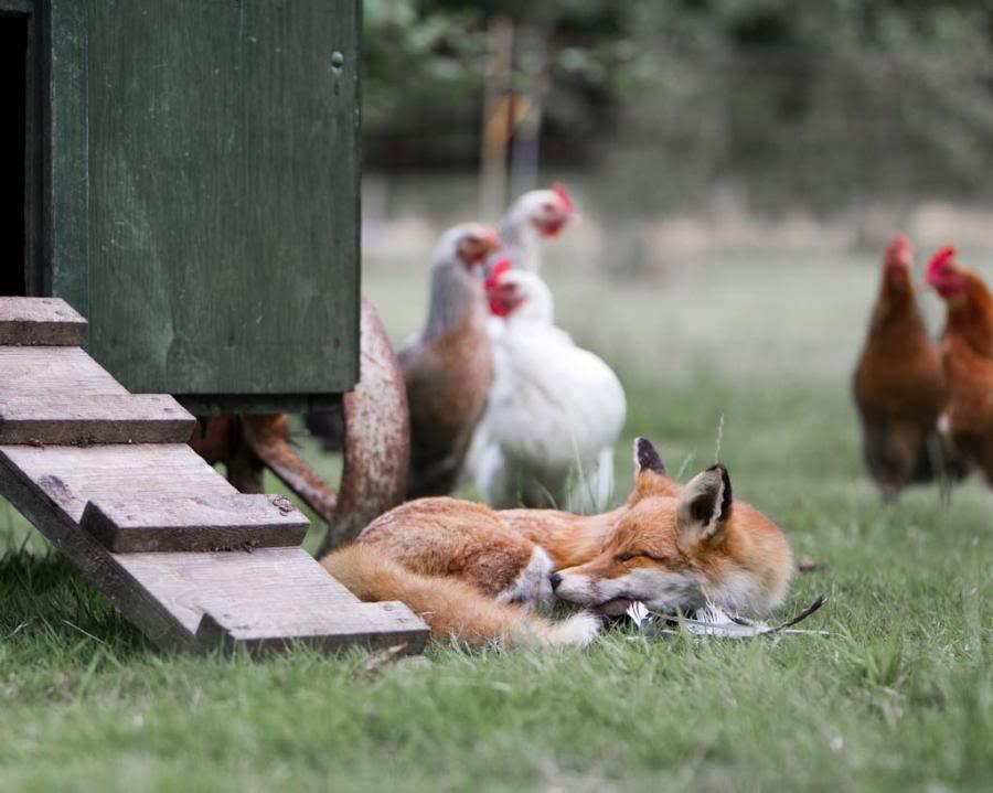 открытка лиса в курятнике конвейерный