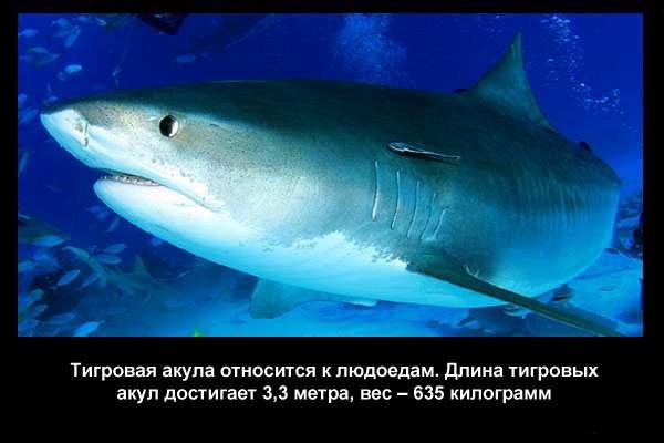 Valteya - Интересные факты о акулах / Хищники морей.(Видео. Фото) - Страница 2 Q4X9igJyhvw