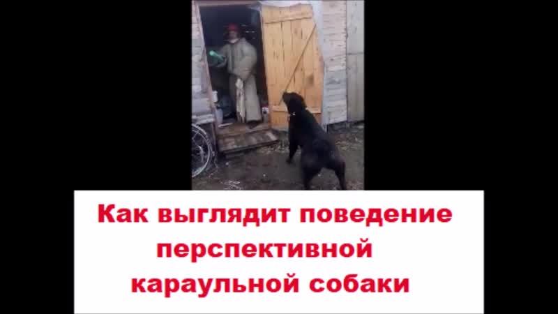 Алабай Эталон поведения будущей караульной собаки