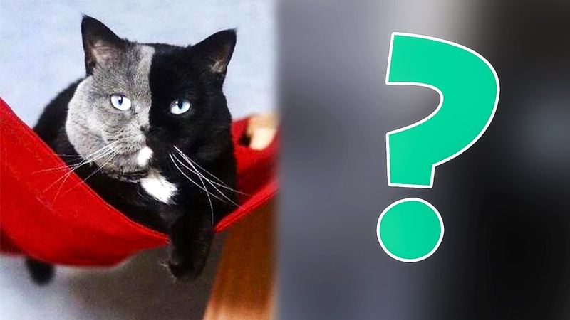 У редчайшего двуликого кота родились котята цвет которых поразил пользователей сети