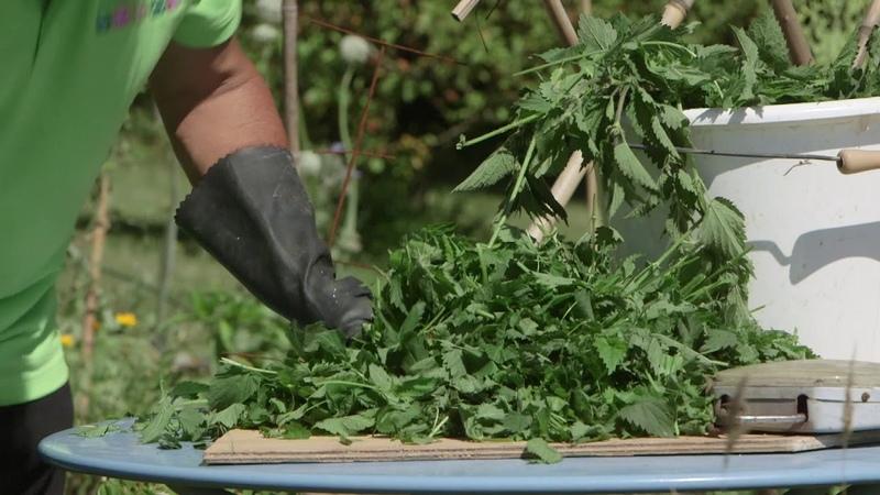 Comment préparer un purin dortie pour fortifier ses tomates