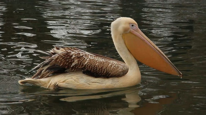 Пелікану Малюку 1 рік