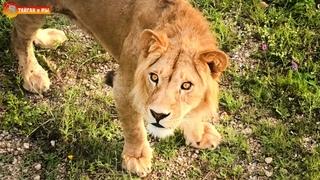 Храп Малыша и рекорд Гека - интересный вечер. Львиный сезон 2020 Тайган Life of lions in Taigan