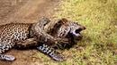 Леопард против Большого змея Питон Реальный бой Самые удивительные атаки диких животных