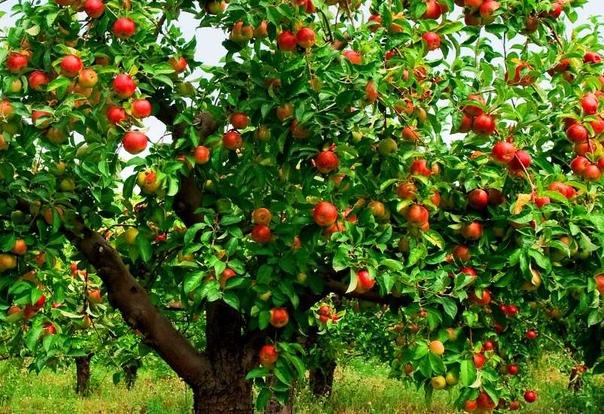 Яблоня: как ухаживать за деревом чтобы получить богатый урожай
