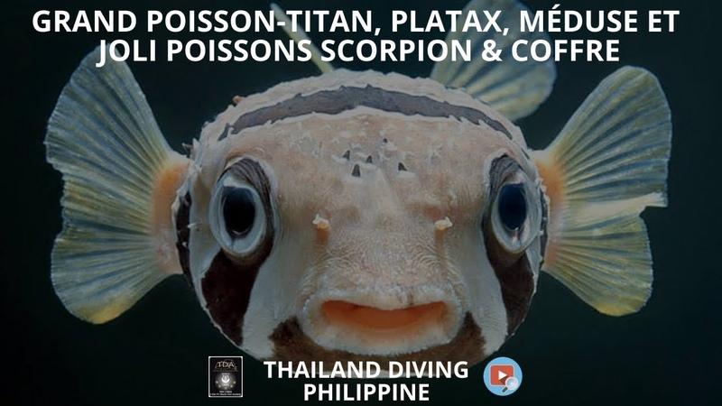 Grand poisson titan, platax, méduse et joli poissons scorpion coffre en plongée coron philippine