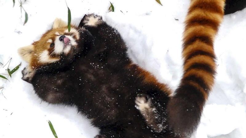 レッサーパンダ やんちゃ盛り…1年前の円実 3  Red Panda MARUMI at Maruyama Zoo