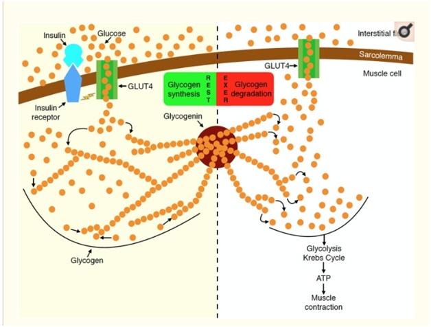 Образование гликогена