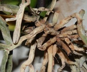 Почему сохнут воздушные корни орхидеи и что делать?, изображение №5